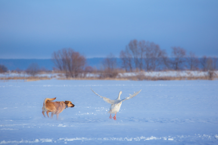 Red dog hunts white goose on the snow