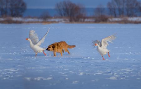 빨간 개가 눈에 흰 거위를 사냥하다.