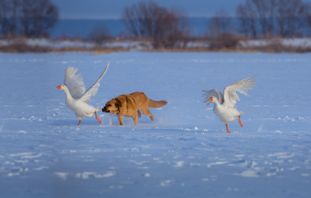 Red dog hunts white geese on the snow