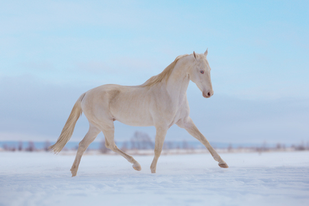 Cremello horse runs on snow in winter