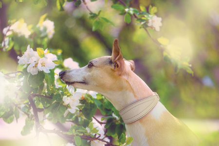Portrait of little hunter dog in bright green and spring blossom Stock Photo