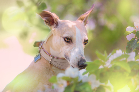 greyhound: Portrait of little hunter dog in bright green and spring blossom Stock Photo