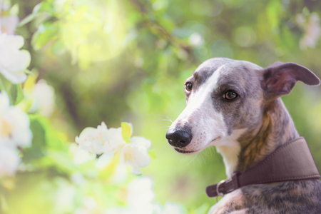 Portrait of hunting dog in bright green and spring blossom Stok Fotoğraf