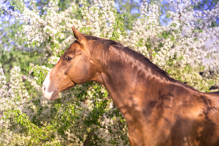 Portrait of red horse on spring blossom trees and green background