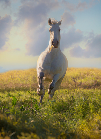 Dapple-grey horse runs on green field on the blue sky background in evening Stock Photo