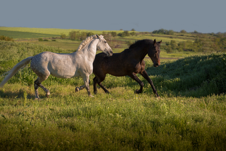 Dapple-grey and bay horses run on green field on the blue sky background Stock Photo