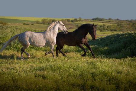 Dapple-grey en baai paarden lopen op groen veld op de blauwe hemelachtergrond Stockfoto