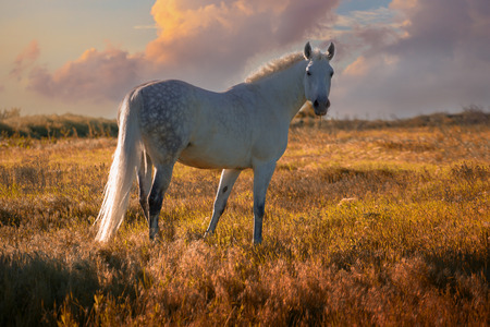Dapple-grey horse stays on green field on the sunset clouds background