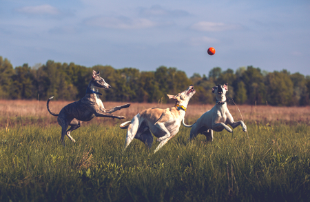 greyhound: Whippet dogs play with orange smoll ball in grass in summer