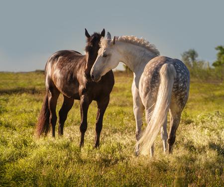 Dapple-grijs en baai paarden samen in de avond Stockfoto