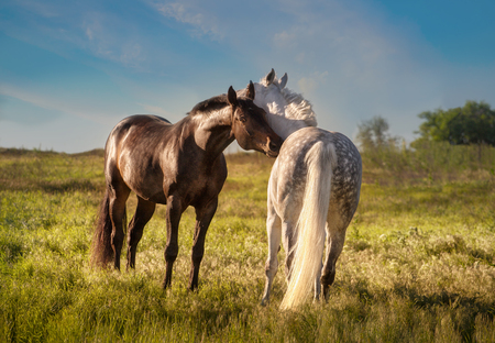 Dapple-grey and bay horses together in evening Stock Photo