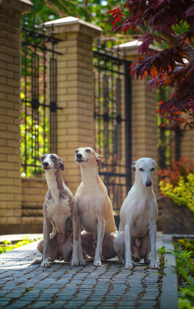 greyhound: Three hunting whippet dog sitting on the path in the park Stock Photo