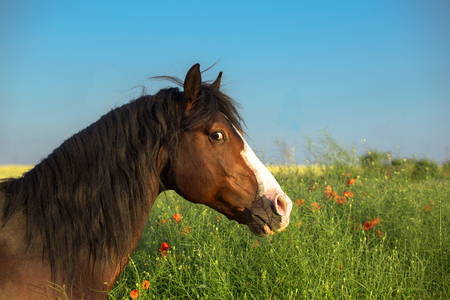 Bay horse with white line on it face in the green grass with red poppies on blue sky background