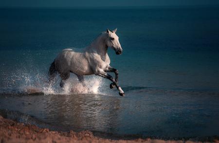 Dapple-grey horse runs in the water of the blue sea Standard-Bild