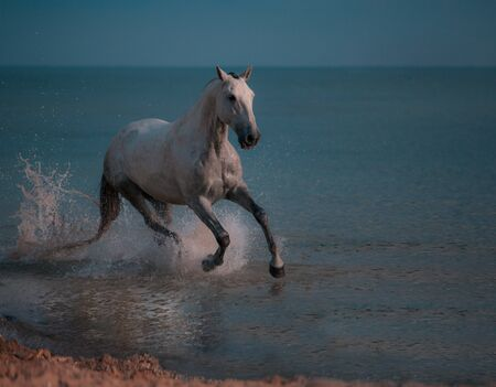 Dapple-grey horse runs in the water of the blue sea Stock Photo