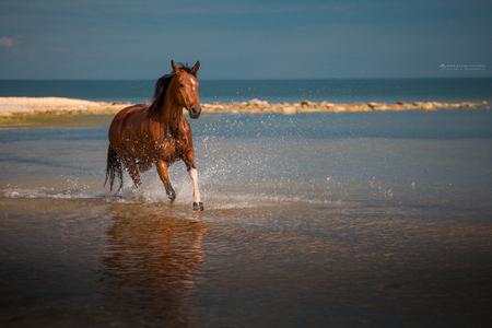 Rood paard loopt in het water van de blauwe zee