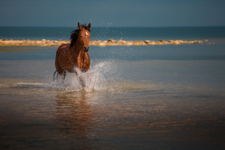 Red horse runs in the water of the blue sea Stock Photo