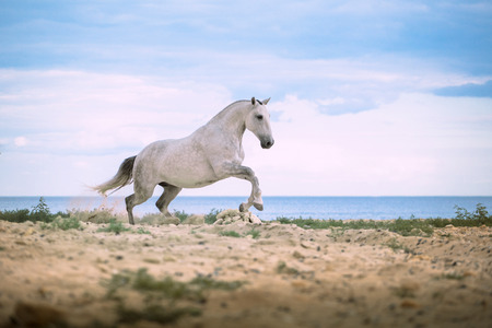 White horse runs on the beach on the sea and clougs background