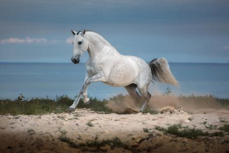 White horse runs on the beach on th sea background