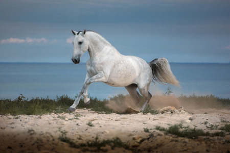 White horse runs on the beach on th sea background