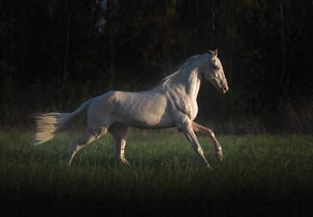 Cremello horse runs on the grass on dark forest background