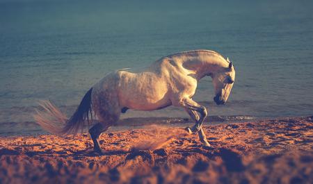 Dapple-grijze paard loopt op het strand op de achtergrond van de zee