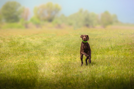 Brown hunting dog runs forward on the grass on the field on trees background Stock Photo