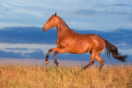 Bay horse runs on the grass on the sky background