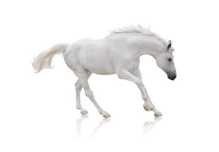 white horse runs isolated on white background