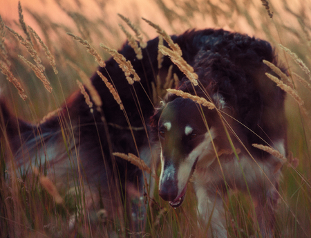 hounds: Portrait of the black Russian hound in the spikelets  at the evening time