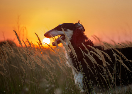 hounds: Portrait of the black Russian hound in the spikelets on the sunset background