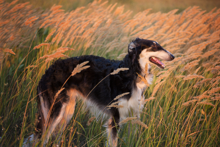 hounds: Portrait of the black Russian hound on the spikelets background at the evening time