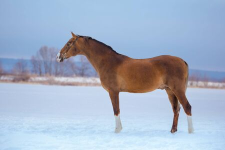 gold horse with white legs stays in snow on sky background