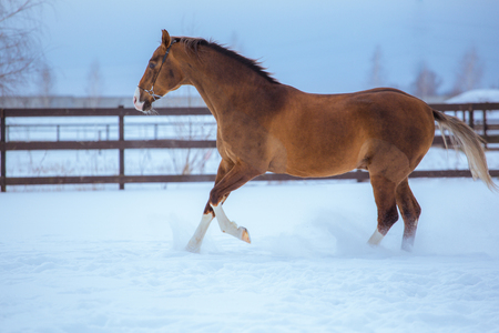 golden horse with white legs runs in snow in paddock