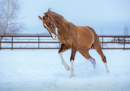 gold horse with white legs runs on snow in paddock