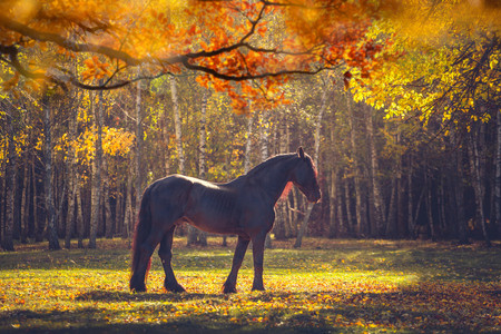 Big black Friesian horse in the autumn forest among the yellow trees 版權商用圖片