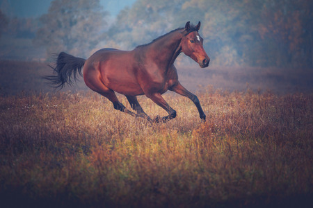 Bay horse galloping on the trees background in autumn