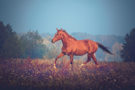 Red horse trotting on the trees background in autumn