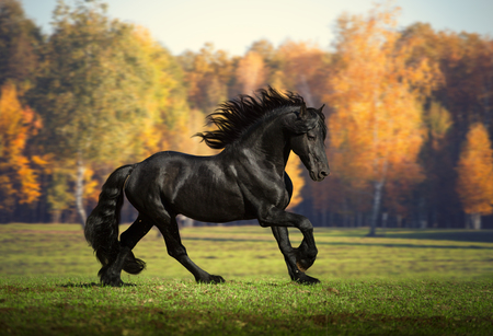 Big black Friesian horse runs in the yellow forest background Stock Photo