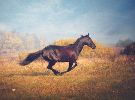 Black horse galloping on the trees and sky background in autumn
