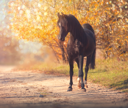 Black Arabian horse stands on the road on trees and sky background in autumn