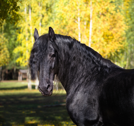Portrait of the black Friesian horse on the autumn nature background Stock Photo