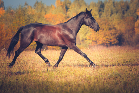 Black horse Orlov trotter breed trotting on the autumn nature background