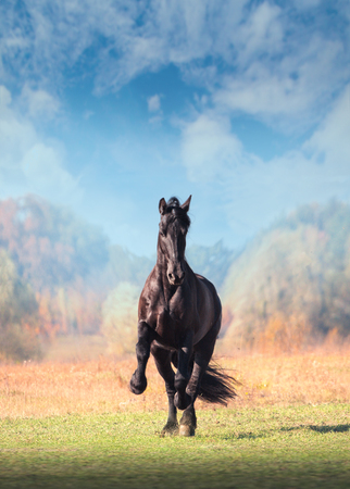 Big black Friesian horse galliping in the field on autumn background Фото со стока