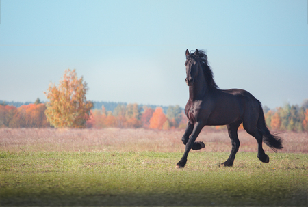 Big black Friesian horse runs on the field on autumn background