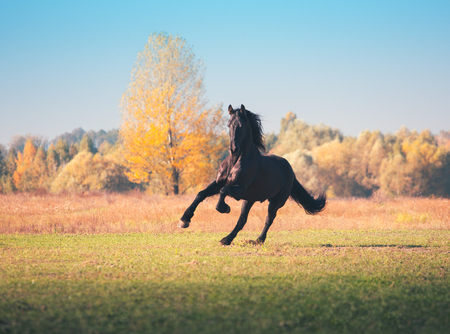 Big black Friesian horse galloping on the field on yellow forest background