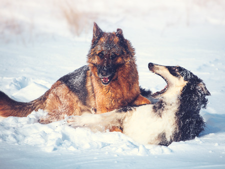 German shepherd and black with white Russian borzoi game in the snow on winter background Archivio Fotografico