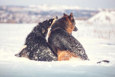 [Image: 98894778-german-shepherd-and-black-with-....jpg?ver=6]