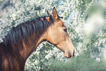 Portrait of the buckskins Akhal-Teke horse on white spring blooming trees background