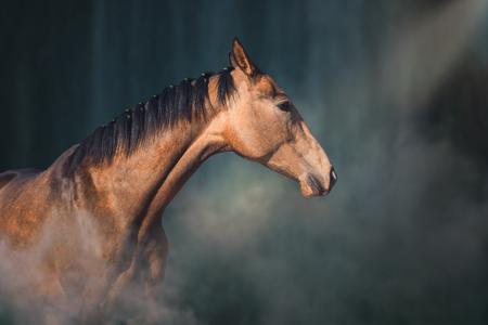 Portrait of the buckskins Akhal-Teke horse on the fog in the dark backgroung Stock Photo